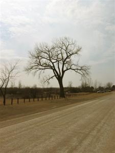 Cottonwood Tree on Farmers Rd